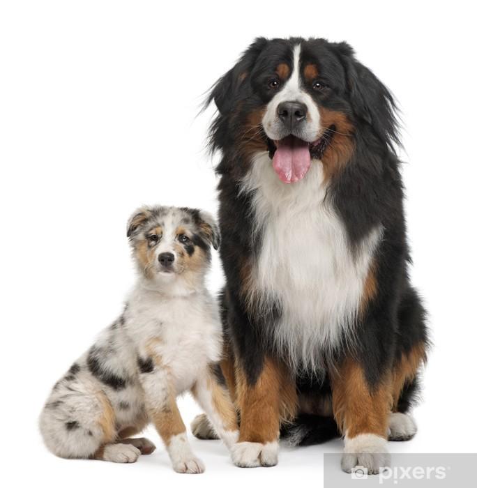 Bernese Mountain Dog And Australian Shepherd Sitting Sticker Pixerstick