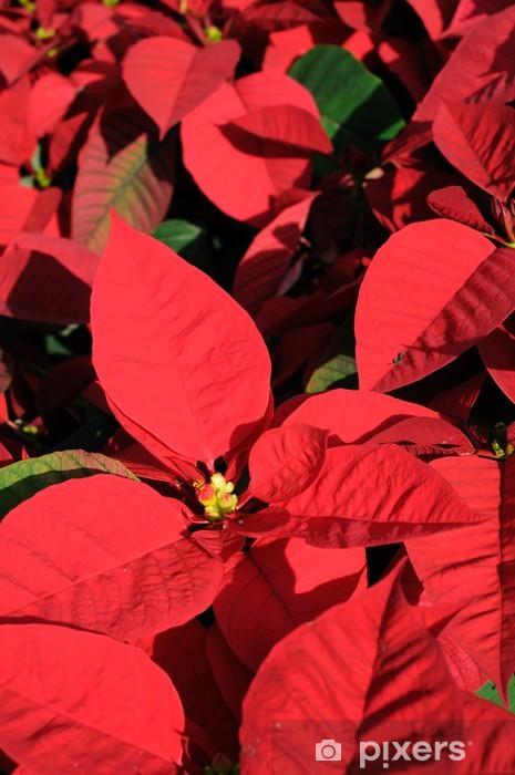 Punainen poinsettia kukat lähikuva Pixerstick tarra - Kansainväliset Juhlinnat
