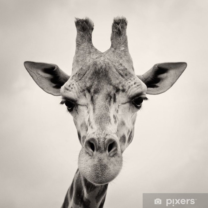 vintage sepia toned image of a Giraffes Head Pixerstick Sticker - Themes