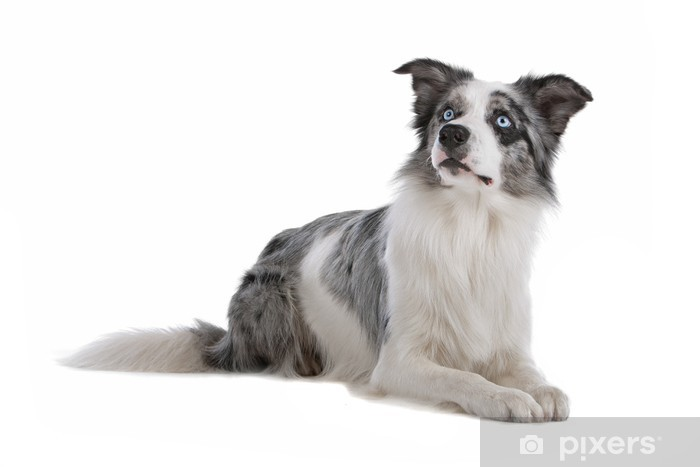 blue merle border collie dog isolated on a white background wall