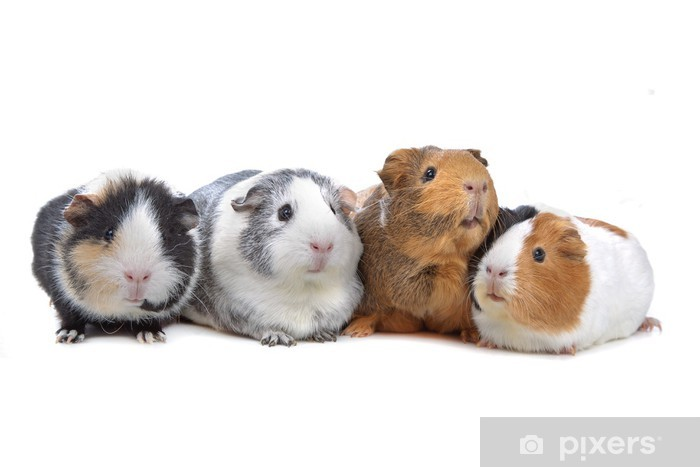 four Guinea pigs in a row isolated on white Vinyl Wall Mural - Mammals