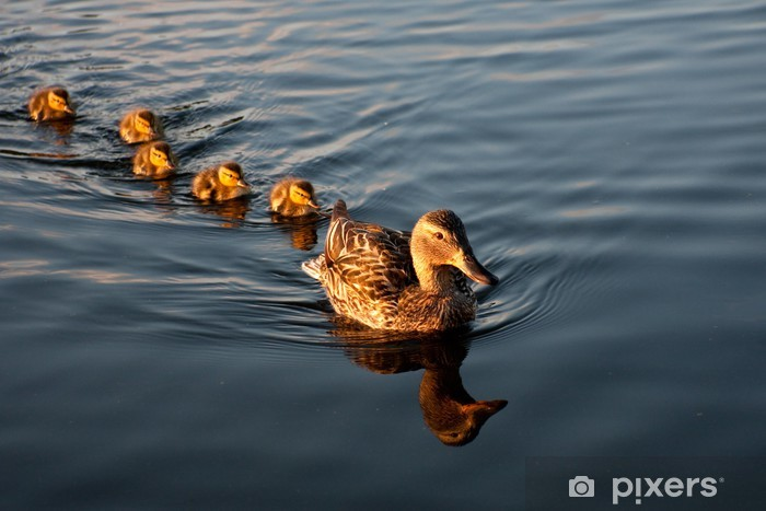 Pixerstick Sticker Moeder eend en haar familie van eendjes - Vogels