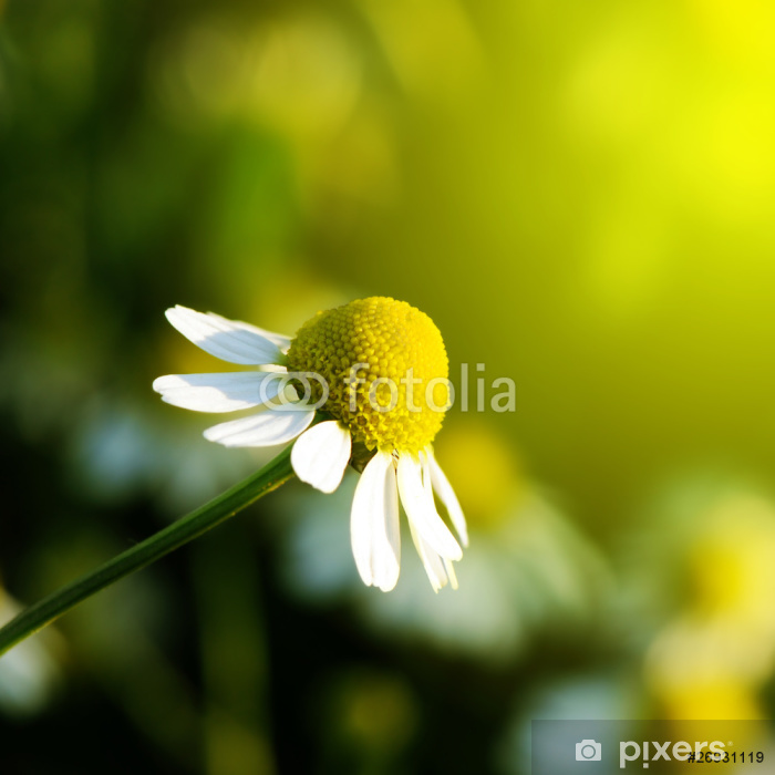 Daisy Poster - Flowers