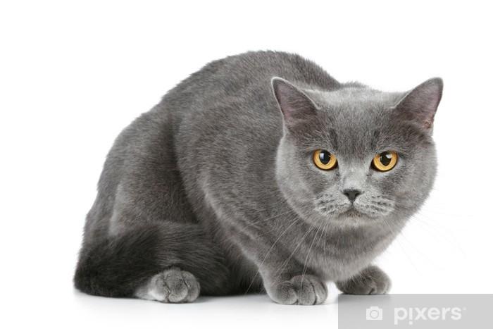 British Shorthair Grey Cat With Big Wide Open Orange Eyes Wall Mural Pixers We Live To Change