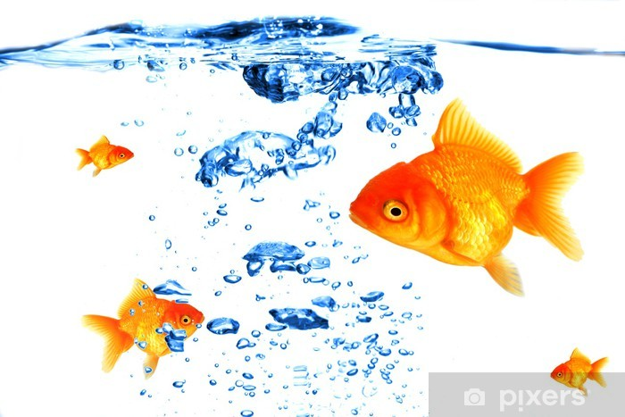 Fototapeta winylowa Złoty oddychanie ryb pod wodą - Zwierzęta żyjące pod wodą