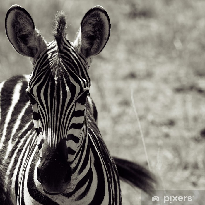 Fototapeta winylowa Zebra - Tematy