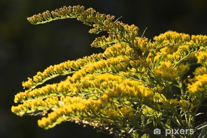 Fototapeta winylowa Goldenrod - Kwiaty