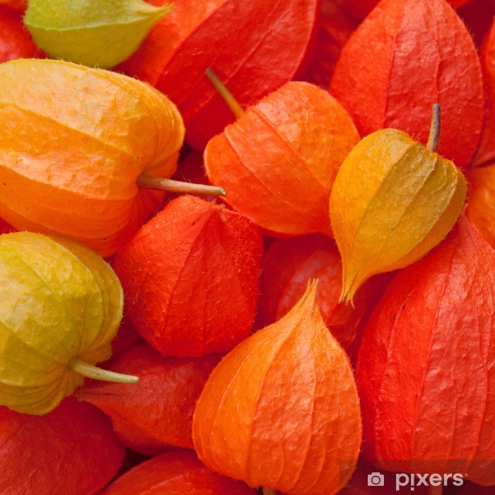 Poster Lampionblume - Physalis alkekengi - Jahreszeiten