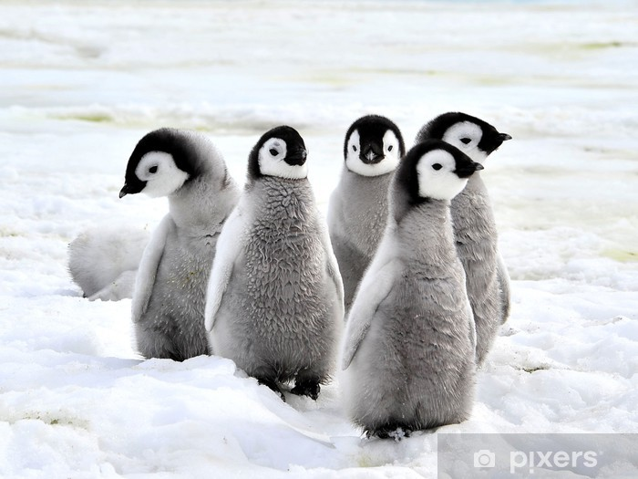 Keisari pingviini Vinyyli valokuvatapetti - iStaging