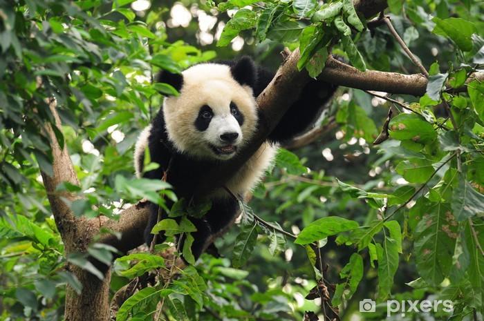 Fototapeta winylowa Panda wspinaczki drzewo - Pandy