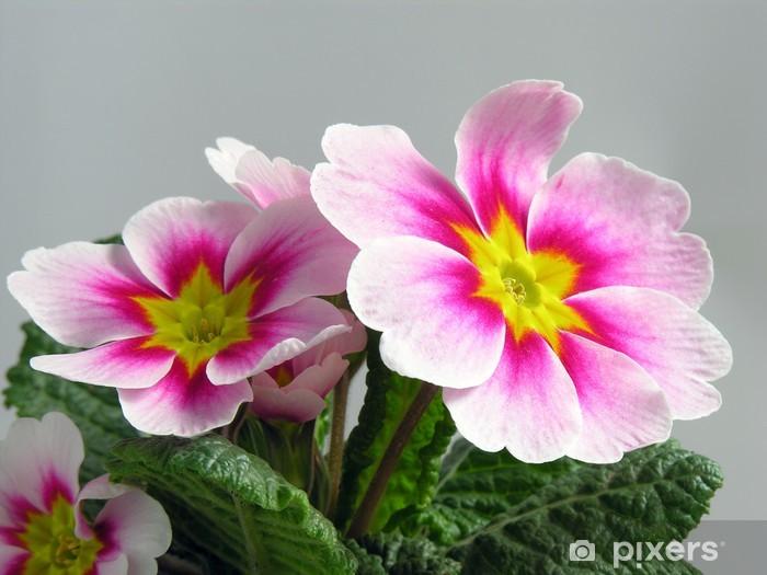 Fototapeta winylowa Różowy pierwiosnek i amarantowy - Rośliny