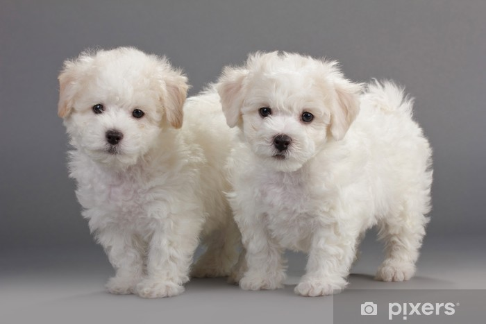 Bichon Frise Puppies Vinyl Wall Mural   Mammals