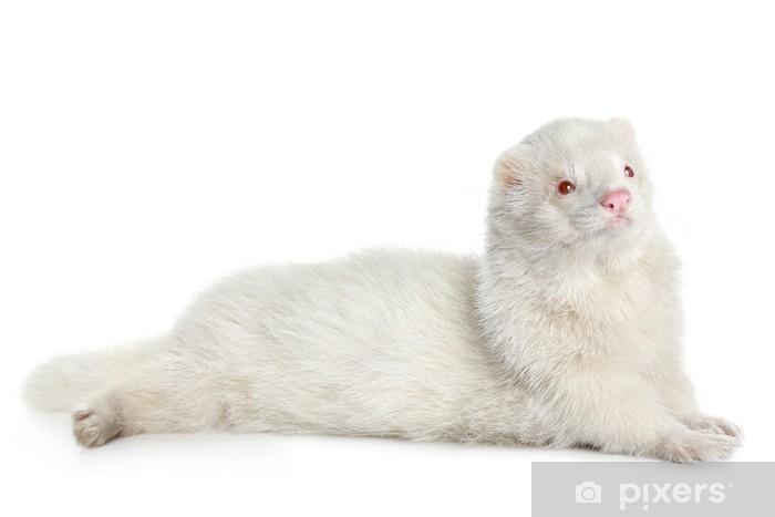Aufkleber Albino Frettchen Auf Einem Weissen Hintergrund Pixers Wir Leben Um Zu Verandern