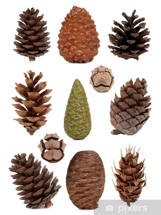 Cones collection Vinyl Wall Mural - Trees