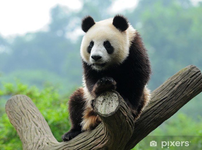 Fototapeta winylowa Giant Panda Bear w drzewo - Pandy