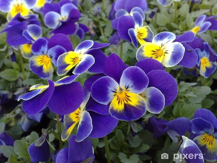 Naklejka Pixerstick Viola cornuta na niebiesko z żółtym oka - Kwiaty