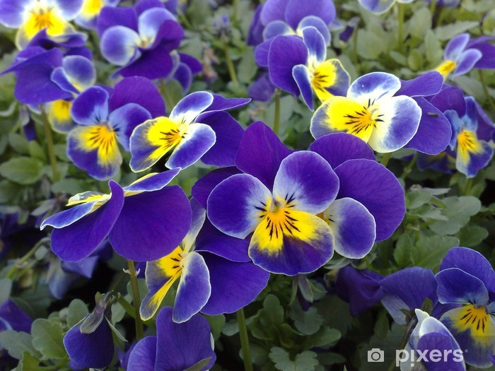 Papier peint vinyle Viola cornuta blau mit gelben auge - Fleurs