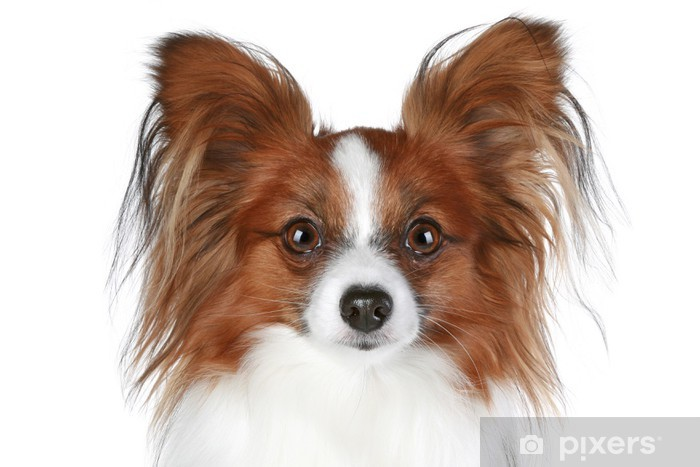 Fototapete Papillon Hund Close Up Porträt Braune Farbe