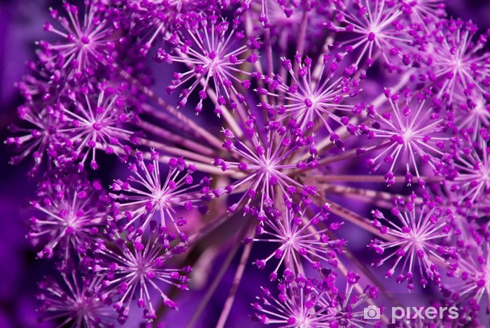 Fototapeta winylowa Angelica archangelica - fiolet - Tematy