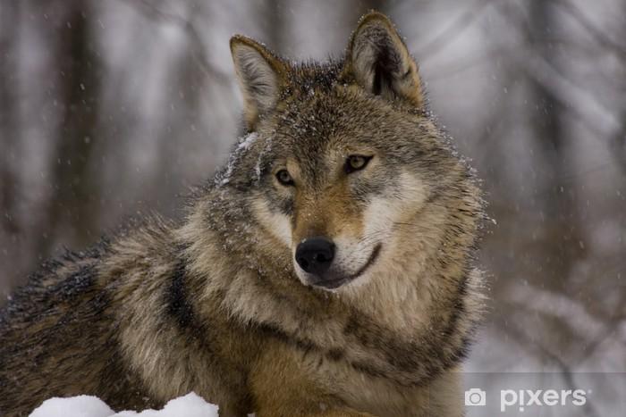 Carta da parati ritratto di un lupo grigio europeo canis lupus