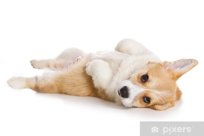 Corgi Puppy On White Background Wall Mural Pixers We Live To Change