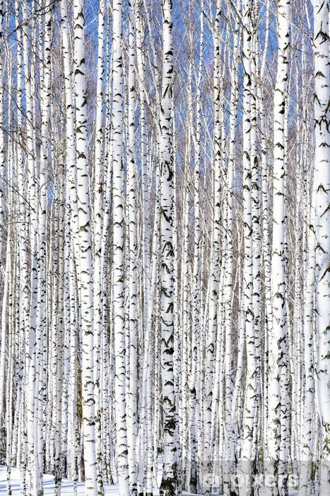 Vinilo para Nevera Bosque de invierno abedul - serenidad invierno. -