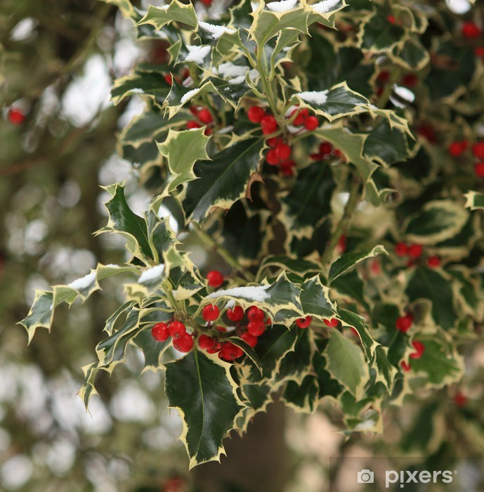 Carta da Parati in Vinile Agrifoglio ilex aquifolium o bicolore comune - Feste Internazionali