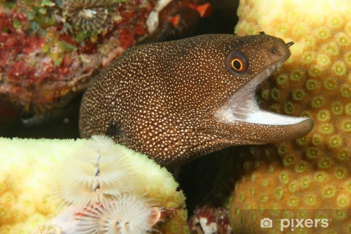 Naklejka Pixerstick Goldentail Moray (Gymnothorax miliaris) - Bonaire - Zwierzęta żyjące pod wodą