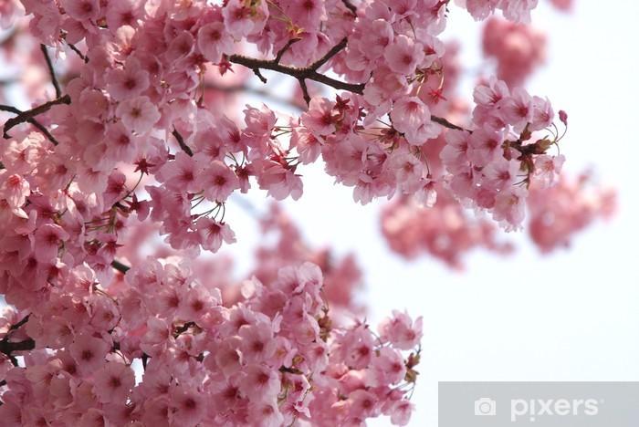 Adesivo Sfondo Di Colore Rosa Fiori Di Ciliegio Su Una Splendida