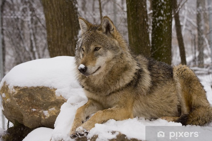 Papier peint vinyle Européenne loup gris (Canis lupus lupus) - Thèmes