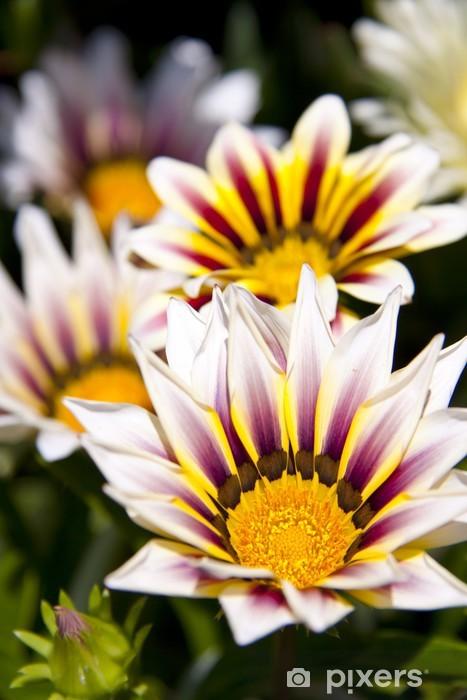 Vinil Duvar Resmi Spaanse margriet - Çiçekler