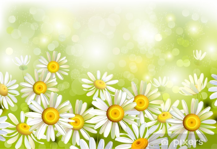 Fototapeta winylowa Polana z chamomiles - Kwiaty
