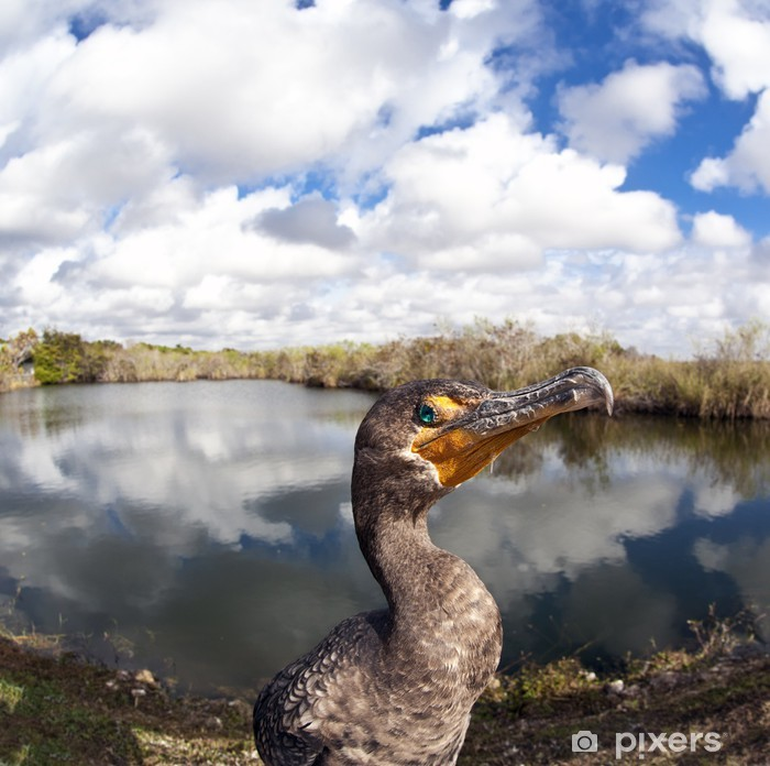 Plakat Kormoran (Phalacrocorax carbo) - Ptaki