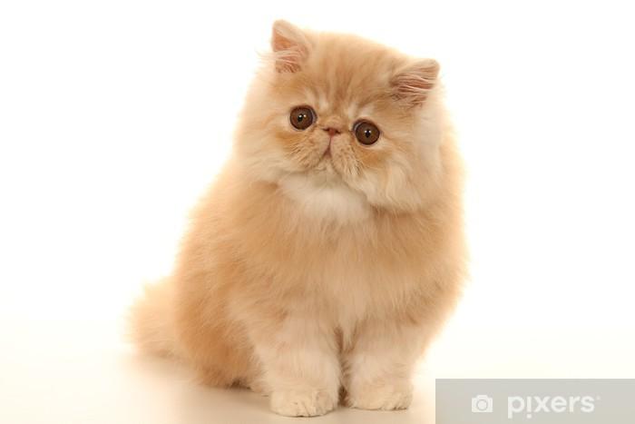 Carta Da Parati Cucciolo Di Gatto Persiano Coperta Pixers