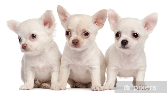 Three Chihuahua puppies, 2 months old, in front of white