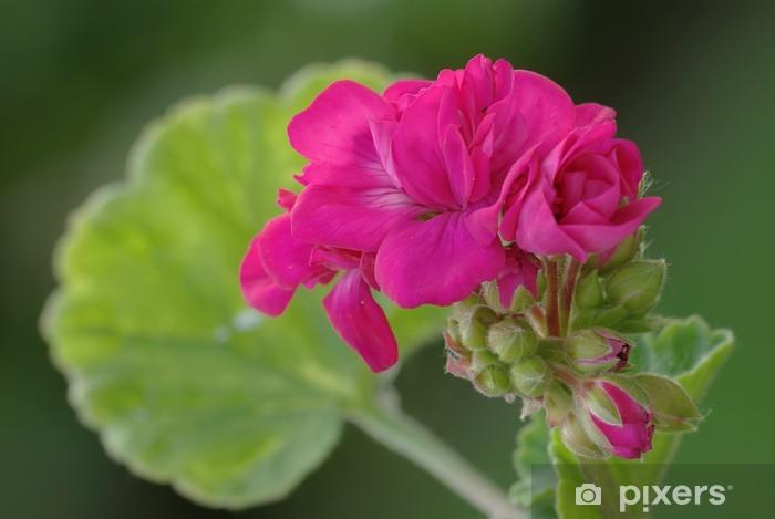 Fototapeta winylowa Róża geranium 3 - Kwiaty
