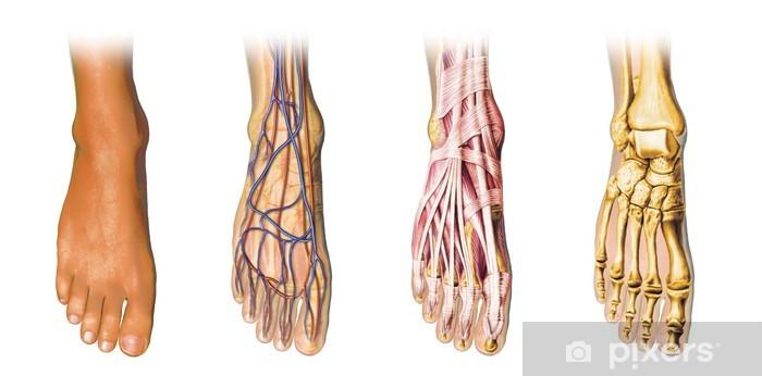Pixerstick Sticker Menselijke voet anatomie doorsneden - Medicijn
