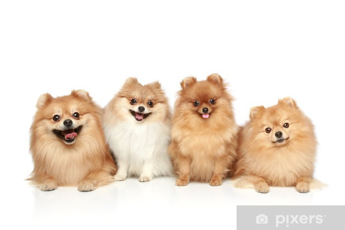 Funny Group Of Spitz Puppies On White