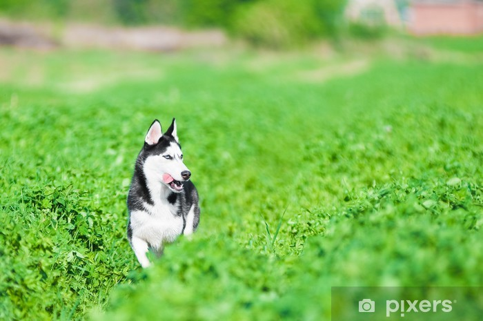 Sticker Pixerstick Fonctionnement Husky dans l'herbe verte - Mammifères