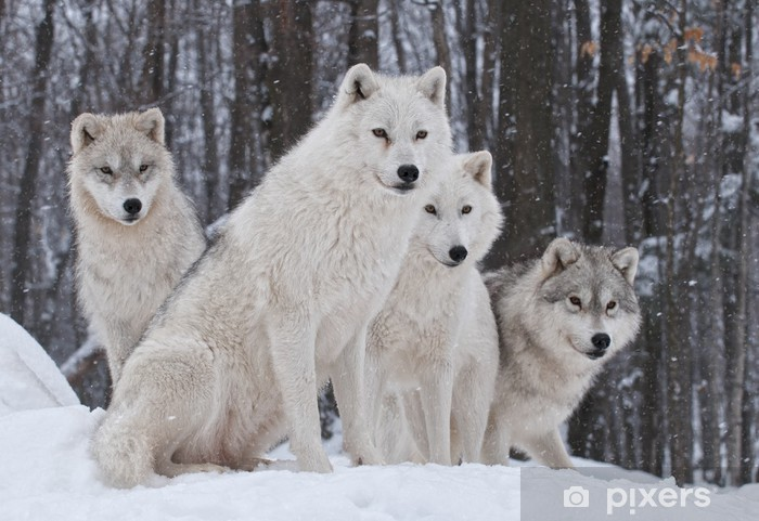 Arctic Wolf Pack Vinyl Wall Mural - Wolves