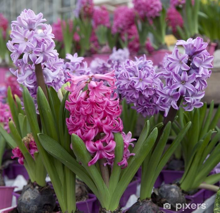 Vinyl-Fototapete Fleurs de Jacinthes en macro - Blumen