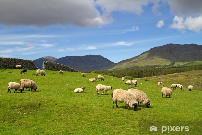 Papier peint vinyle Moutons et béliers dans les montagnes du Connemara - Ireland - Thèmes