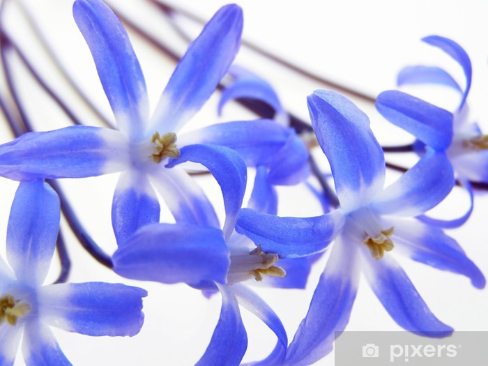 Papier peint vinyle Bleu printemps Scilla - Saisons