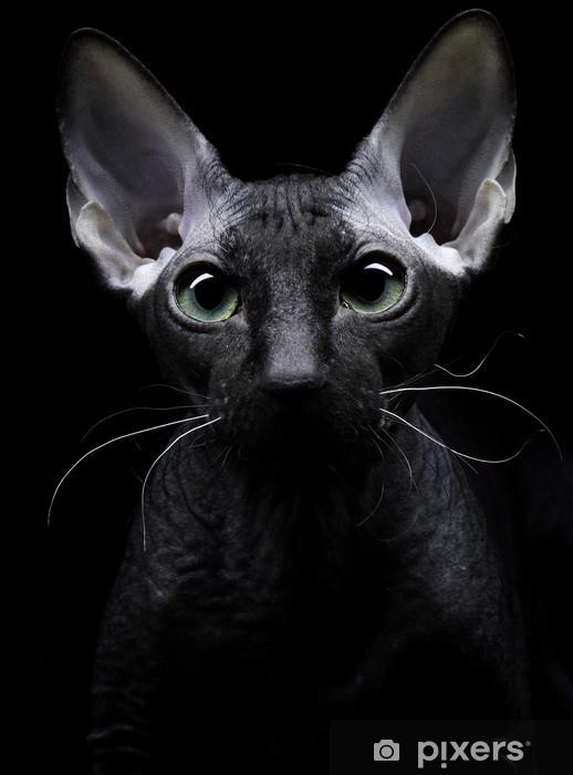 Naklejka Młody Kanadyjczyk Kot Sfinks Patrząc Na Kamery Na Czarnym