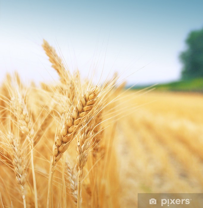 Naklejka Pixerstick Pole ziarna - Rolnictwo