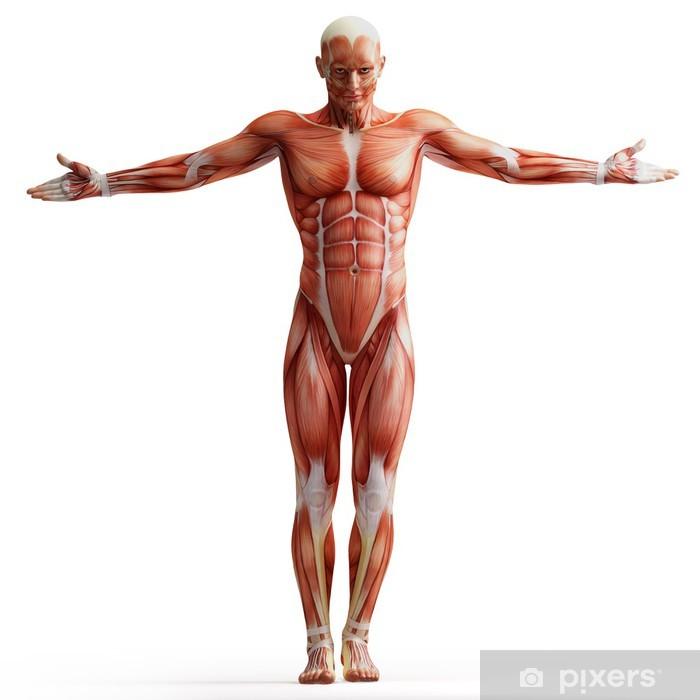 Vinyl Fotobehang Anatomie, spieren - Gezondheid en Geneeskunde