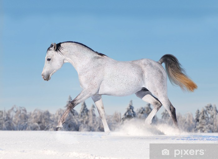 Fototapeta winylowa Arabska koń w zimie - Ssaki