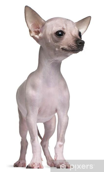 Fototapete Hairless Chihuahua 5 Monate Alt Pixers Wir Leben