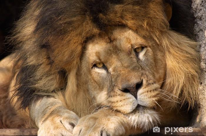 Papier peint vinyle Male lion - Thèmes