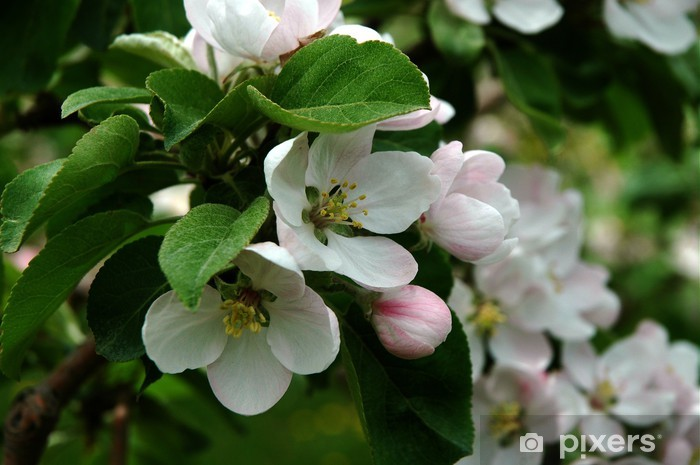 Vinyl-Fototapete Apfelblüte - Apfelbäume